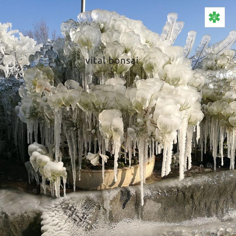 bonsai sous la glace