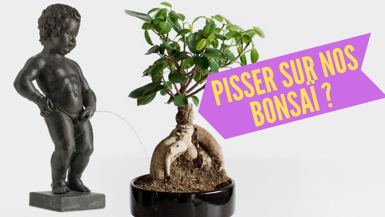 urine jardin, bonsai, plante en pot