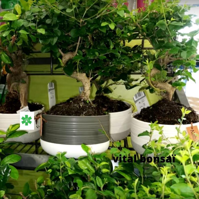 troène ligustrum bonsaï entretient