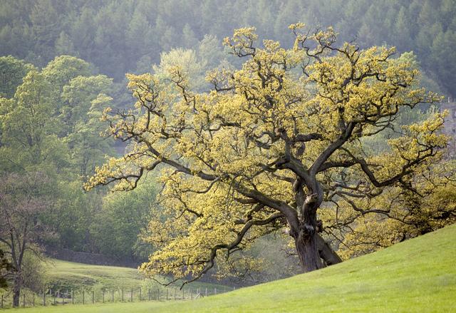 Le chêne en bonsaï